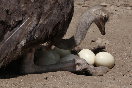 struthio camelus: Ostrich Struthio camelus inspects its eggs in the nest. Wild life animal.