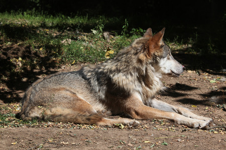 pyrenean: Eurasian wolf (Canis lupus lupus). Wild life animal. Stock Photo