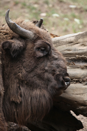 toed: European bison (Bison bonasus), also known as the wisent or the European wood bison. Wild life animal.