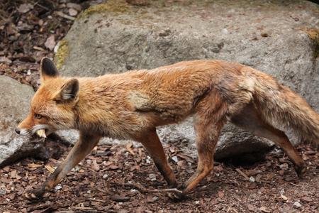 zorro: Zorro rojo (Vulpes vulpes). Vida animal salvaje. Foto de archivo