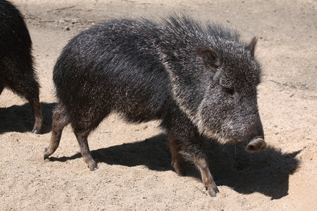 chaco: Chacoan peccary (Catagonus wagneri), also known as the tagua. Wild life animal.