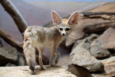 animales del desierto: Fennec zorro (Vulpes zerda). Vida animal salvaje. Foto de archivo