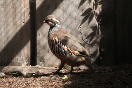 kuropatwa: Red-legged partridge (Alectoris rufa). Wild life animal.