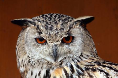 ural owl: Western Siberian eagle-owl (Bubo bubo sibiricus). Wild life animal.