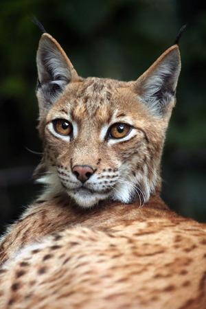 lince: Lince Cárpatos (Lynx lynx carpathica). Vida animal salvaje.