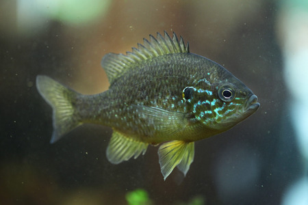 pumpkinseed: Pumpkinseed (Lepomis gibbosus). Wild life animal.