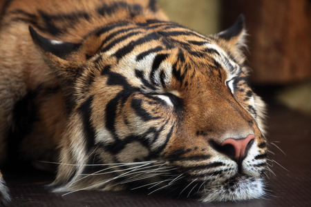 panthera tigris sumatrae: Sumatran tiger (Panthera tigris sumatrae). Wild life animal.