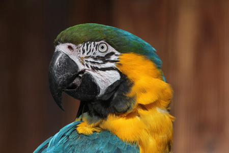 ararauna: Blue-and-yellow macaw (Ara ararauna), also known as the blue-and-gold macaw. Wild life animal.