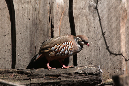 rufa: Red-legged partridge (Alectoris rufa). Wild life animal.