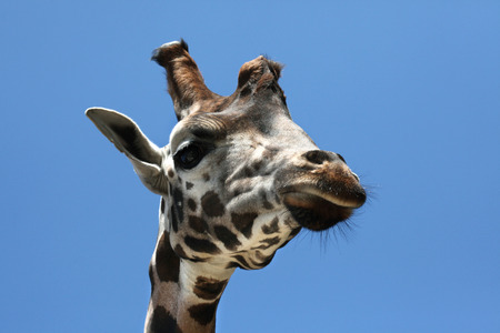 giraffa camelopardalis: Rothschild giraffe (Giraffa camelopardalis rothschildi). Wild life animal. Stock Photo