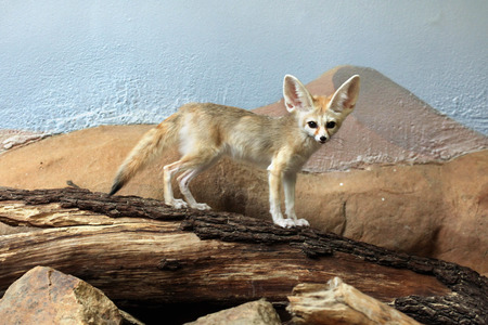 Fennec fox (Vulpes zerda). Wild life animal. Stock Photo - 43490858