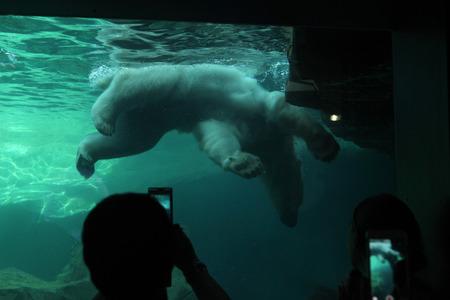 zoo as: VIENNA, AUSTRIA - JUNE 7, 2015: Visitors look as a polar bear (Ursus maritimus) swimming underwater at Schonbrunn Zoo in Vienna, Austria. Wild life animal.