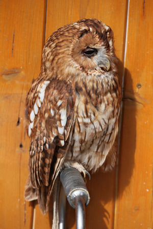 tawny owl: Tawny owl (Strix aluco), also known as the brown owl. Wild life animal. Stock Photo