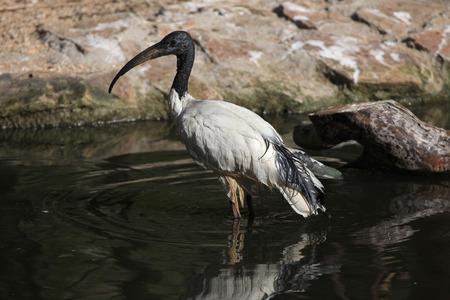 botas altas: Africano ibis sagrado Threskiornis Aethiopicus. animales de la vida silvestre.