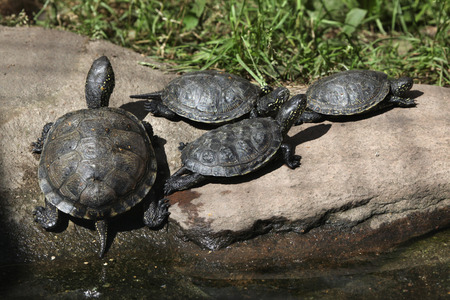 terrapin: European pond turtle (Emys orbicularis), also known as the European pond terrapin. Wild life animal. Stock Photo