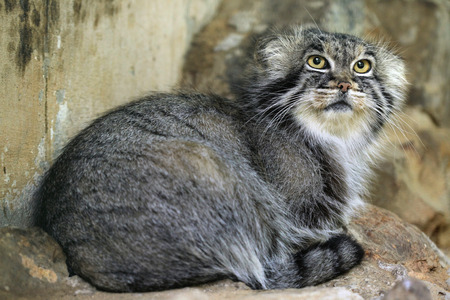 pallas: Pallas cat (Otocolobus manul), also known as the manul. Wild life animal.