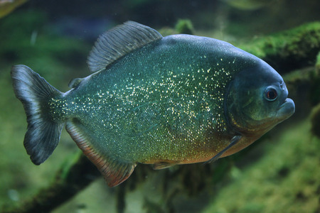 piranha: Piranha (Pygocentrus piraya), also known as the man-eating piranha. Wildlife animal. Stock Photo