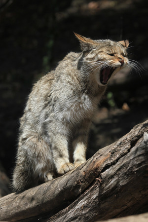 wildcats: European wildcat (Felis silvestris silvestris). Wild life animal. Stock Photo