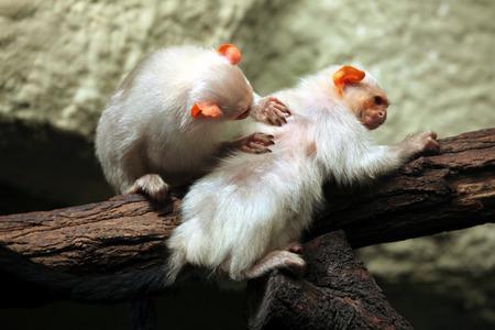 silvery: Silvery marmoset (Mico argentatus). Wild life animal. Stock Photo