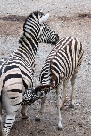 burchell: Burchell zebra (Equus quagga burchellii), also known as the Damara zebra feeding its foal. Wild life animal.