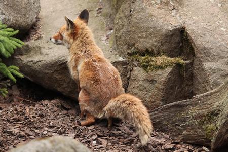 defecating: Red fox (Vulpes vulpes) defecating. Wild life animal.