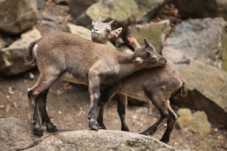 bovid: Alpine ibex (Capra ibex), also known as the steinbock or bouquetin. Wild life animal. Stock Photo