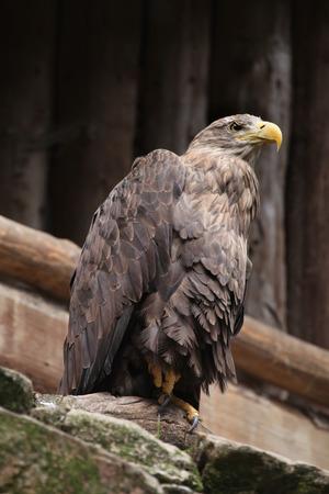 whitetailed: White-tailed eagle (Haliaeetus albicilla), also known as the sea eagle. Wild life animal.