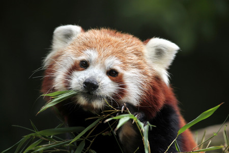 bearcat: Red panda (Ailurus fulgens). Wild life animal.