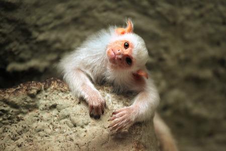 Silvery marmoset (Mico argentatus). Wild life animal. Banco de Imagens
