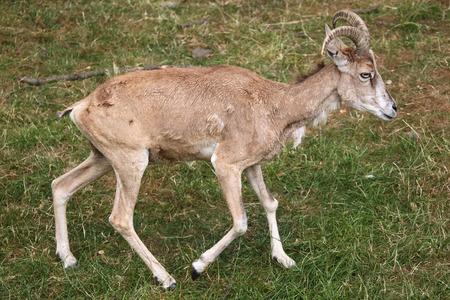 ovis: Transcaspian urial (Ovis orientalis arkal). Wild life animal.