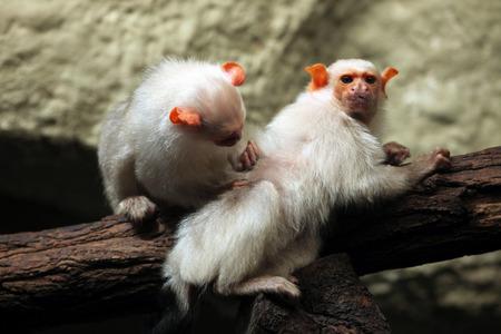 Silvery marmoset Mico argentatus. Wild life animal. Banco de Imagens