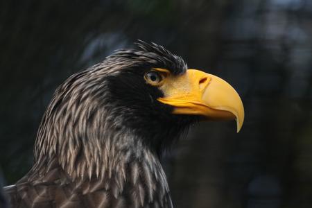sea eagle: Steller sea eagle (Haliaeetus pelagicus).