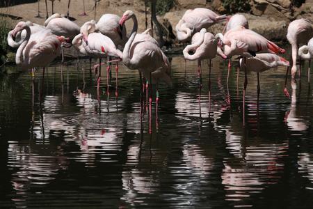 greater: Greater flamingo (Phoenicopterus roseus). Wild life animal.