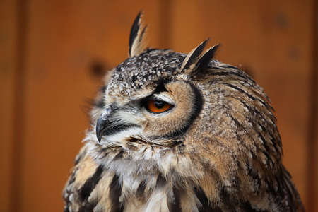 bengalensis: Indian eagle-owl Bubo bengalensis, also known as the Bengal eagle-owl. Wild life animal.