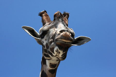 ugandan: Rothschild giraffe (Giraffa camelopardalis rothschildi). Wild life animal. Stock Photo