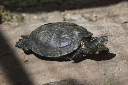 terrapin: European pond turtle Emys orbicularis, also known as the European pond terrapin. Wild life animal.