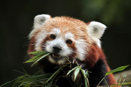 oso panda: Panda rojo (Ailurus fulgens). Vida animal salvaje.
