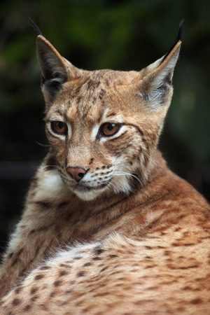 lince: Lince C�rpatos (Lynx lynx carpathica). Vida animal salvaje.