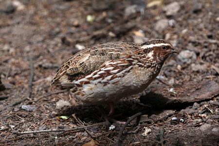 japanese quail: Japanese quail (Coturnix japonica). Wild life animal.