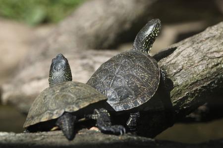 emys: European pond turtle (Emys orbicularis), also known as the European pond terrapin. Wild life animal. Stock Photo