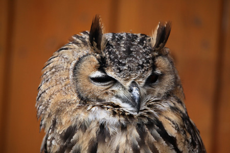 bengalensis: Indian eagle-owl (Bubo bengalensis), also known as the Bengal eagle-owl. Wild life animal.