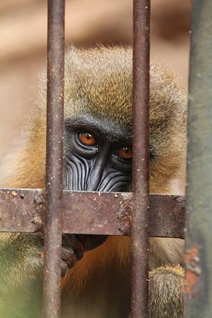 mandrill: Mandrill (Mandrillus sphinx) in the cage. Wildlife animal. Stock Photo
