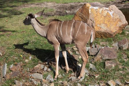 savannas: Greater kudu (Tragelaphus strepsiceros). Wild life animal. Stock Photo