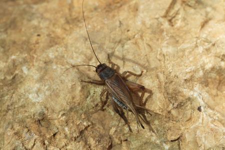 insecta: House cricket Acheta domestica. Wild life animal. Stock Photo