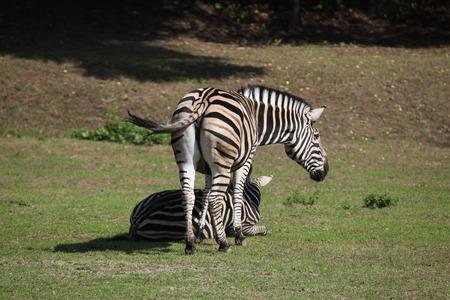 chapman: Chapman zebra (Equus quagga chapmani). Wild life animal.
