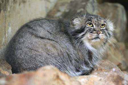 wildcats: Pallas cat (Otocolobus manul), also known as the manul. Wild life animal.