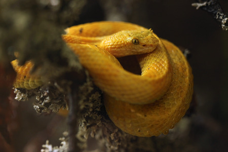 animal in the wild: Eyelash viper (Bothriechis schlegelii). Wild life animal.