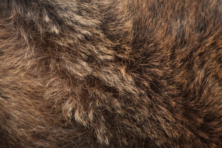 textured backgrounds: Brown bear (Ursus arctos) fur texture. Wild life animal.