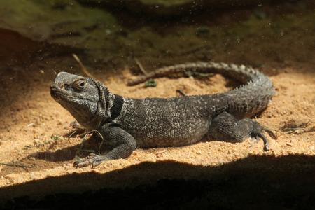 jaszczurka: Madagaskar kolczasty-tailed iguana (Oplurus cuvieri), znany również jako Madagaskar kołnierzykiem jaszczurka. Dzikie zwierzę życie. Zdjęcie Seryjne