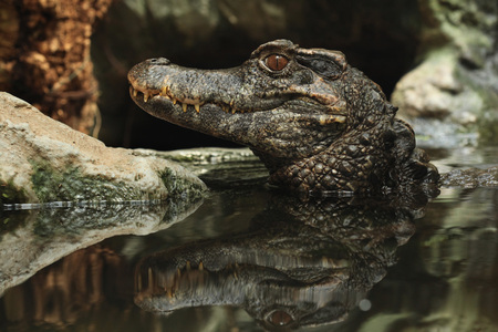 caiman: Smooth-fronted caiman (Paleosuchus trigonatus), also known as Schneider dwarf caiman. Wild life animal.